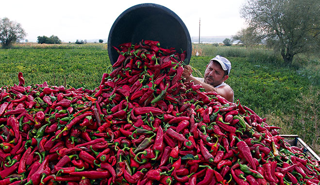 Farmer collects bell peppers in Donja Lokosnica