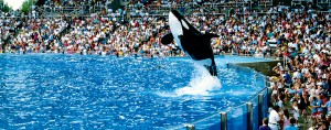 A killer whale show at SeaWorld, Orlando, Florida, in the US. The film Blackfish, which sheds light on the treatment of the company's animals, has adversely effected its reputation