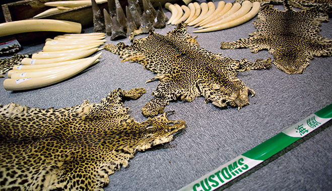 Ivory tusks, rhino horns and leopard skins seized by customs. One company believes they can counter the excessive demand for rhino horns by creating synthetic versions