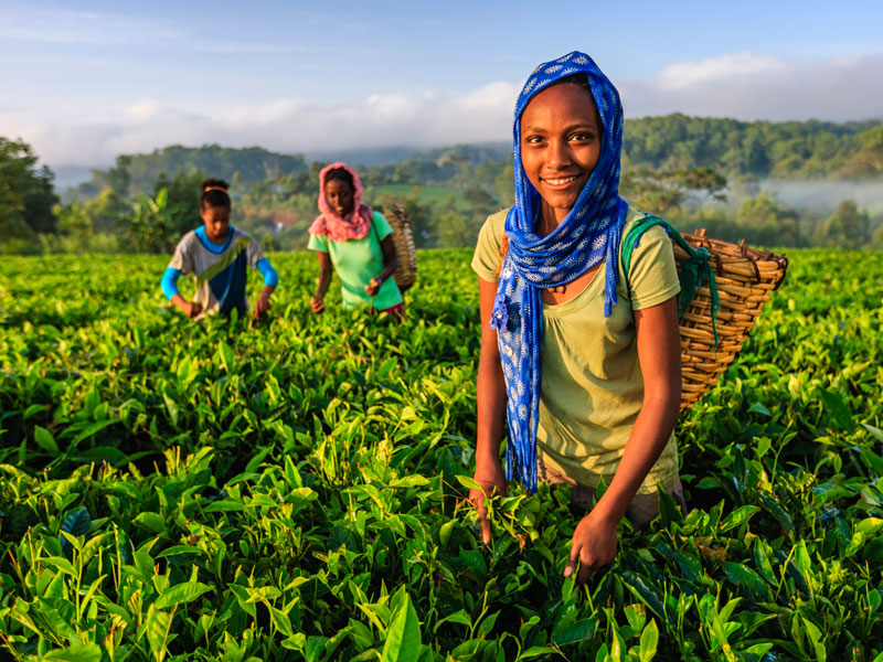 Workers plucking tea leaves on a plantation in Ethiopia. As of 2018, the country was the fastest growing in Africa, but attempts to diversify away from agriculture have caused public unrest