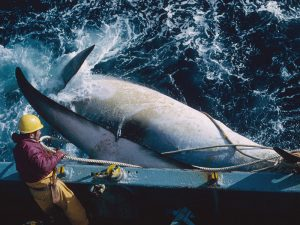 The devil and the deep blue sea – Japanese whaling brings surprising conservation benefits